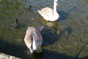 Swans at Decoy Lake
